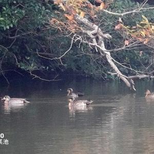 12/06探鳥記録写真(11月下旬に出会った鳥たち:カシラダカ、コホオアカ、トモエガモ、オシドリ、ミコアイサ、ハヤブサほか)