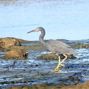 12/08探鳥記録写真-2(狩尾岬の鳥たち:クロサギ、ミサゴの飛翔ほか)