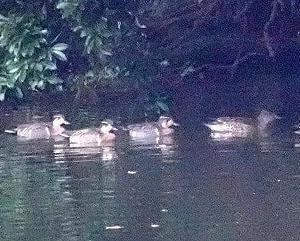 12/09探鳥記録写真(響灘緑地:某池の鳥たち:オシドリ、トモエガモ、)