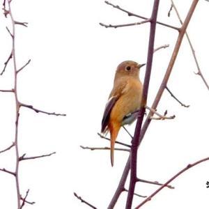 12/09探鳥記録写真-2(響灘ビオトープの鳥たち:ジョウビタキ♀、ツグミ、モズ、チュウヒほか)