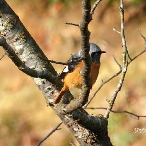 1/16探鳥記録写真(頓田貯水池の鳥たち:エナガ、シロハラ、ジョウビタキ♂&♀ほか)