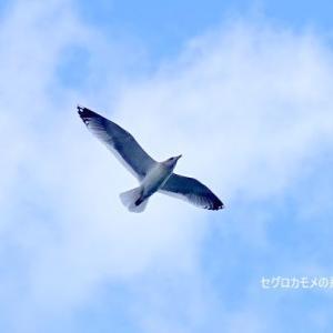 1/16探鳥記録写真-2(若松区脇田漁港の鳥たち:セグロカモメ、イソヒヨドリ♂)