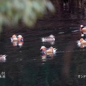 1/17探鳥記録写真-2(1月上旬に出会った鳥たち:ルリビタキ、ジョウビタキ、オシドリ、カツオドリ、ミコアイサ、ウミアイサほか)