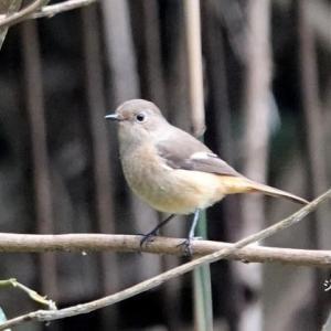 1/17探鳥記録写真(狩尾岬の鳥たち:ジョウビタ♂&♀、ウミアイサ♀ほか)