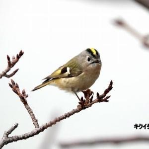 1/18探鳥記録写真-2(頓田貯水池の鳥たち:ジョウビタキ♂、キクイタダキ、オシドリほか)