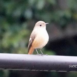 1/19探鳥記録写真(狩尾岬の鳥たち:ジョウビタキ♀、ウミアイサ♀ほか)