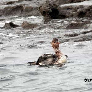 1/20探鳥記録写真-2(狩尾岬の鳥たち:ジョウビタキ♀、ウミアイサ♀、クロサギほか)