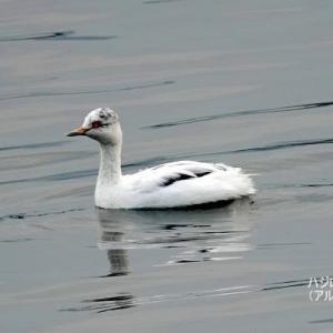 1/21探鳥記録写真-2(頓田貯水池の鳥たち:カンムリカイツブリ、ハジロカイツブリ、カイツブリ)