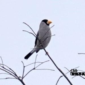1/21探鳥記録写真(頓田貯水池の鳥たち:イカル、ジョウビタキ♂、コゲラ、カイツブリ3種ほか)
