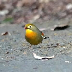 1/22探鳥記録写真-2(頓田貯水池の鳥たち:イカル、キクイタダキ、ジョウビタキ♂、ソウシチョウ、ほか)