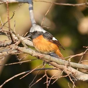 1/24探鳥記録写真-2:筑前大島への鳥見行-1-②(ミヤマホオジロ♂、ジョウビタキ♂、セグロカモメほか)