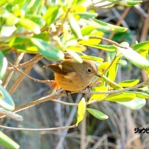 1/25探鳥記録写真-3(狩尾岬の鳥たち:ジョウビタキ、クロサギほか)