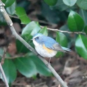 2/27探鳥記録写真-2(2月中旬に出会った鳥たち:ルリビタキ♂、ジョウビタキ♂、カシラダカ、ウミアイサ♂&♀、ほか)