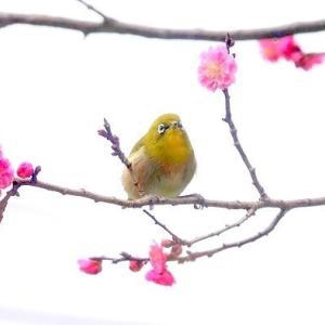 2/28探鳥記録写真-2(白木谷梅林の模様とウメジロー)