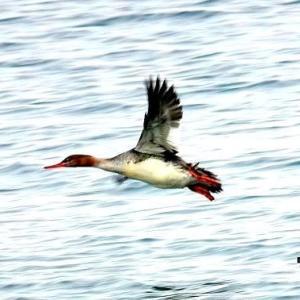 3/27探鳥記録写真-2(遠賀川河口の鳥たち:イソヒヨドリ♂&♀、ウミアイサ♀、ヒドリガモ、クロサギほか)