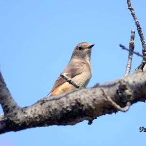 3/28探鳥記録写真-2(瀬板の森公園の鳥たち:ジョウビタキ♂&♀、メジロほか)