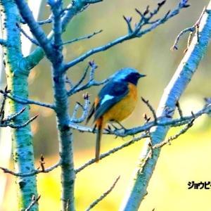 3/29探鳥記録写真-2(はまゆう公園の鳥たち:ウミアイサの群れ、ウグイス、ジョウビタキ♂&♀、ホオジロ、ムクドリ、)