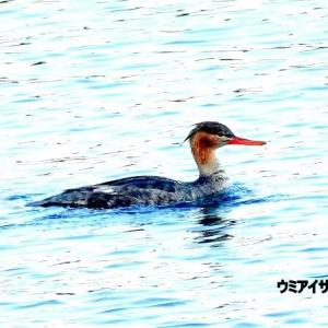 3/29探鳥記録写真(狩尾岬の鳥たち:ジョウビタキ♀、ウミアイサ♀、ミサゴほか)