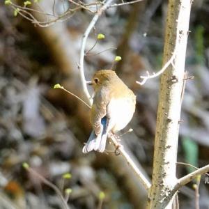 3/30探鳥記録写真(瀬板の森公園の鳥たち:ルリビタキ、ジョウビタキ♀、メジロほか)