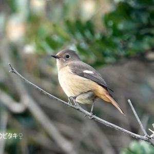 4/01探鳥記録写真(はまゆう公園の鳥たち:ジョウビタキ♂&♀、ホオジロほか)