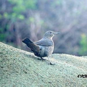 4/01探鳥記録写真-2(遠賀川河口の鳥たち:イソヒヨドリ♀、イソシギ、ウミアイサ♀、)