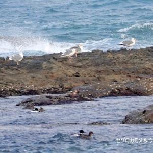4/05探鳥記録写真-2(狩尾岬の鳥たち:ウミアイサ、クロサギ、セグロカモメほか)