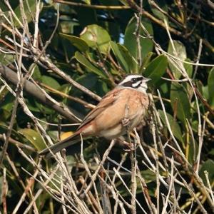 4/05探鳥記録写真-3(はまゆう公園の鳥たち:ホオジロづくし)