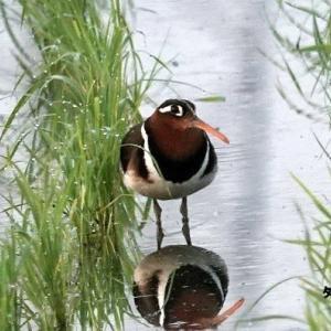 5/26探鳥記録写真-2(某田んぼの鳥たち:タマシギづくし)