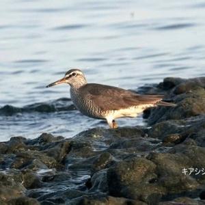 5/27探鳥記録写真(若松北海岸:千畳敷の鳥たち:キアシシギづくし)
