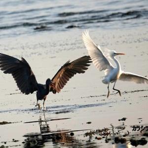 5/27探鳥記録写真-3(若松北海岸:千畳敷の鳥たち:カラシラサギとクロサギ)