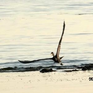 5/27探鳥記録写真-2(若松北海岸:千畳敷の鳥たち:クロサギづくし)