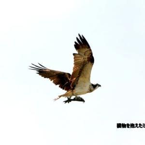 5/28探鳥記録写真-3(狩尾岬の鳥たち :ミサゴ&クロサギ)