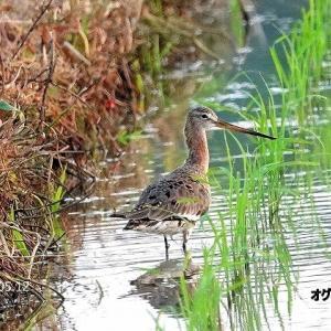 5/28探鳥記録写真-2:(5月中旬に出会った鳥たち:オグロシギ、ムナグロ、ウズラシギ、セイタカシギ、チュウシャクシギ、キアシシギほか)