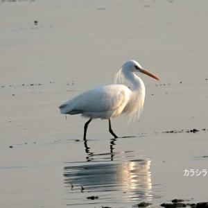 5/28探鳥記録写真(若松北海岸:千畳敷の鳥たち:カラシラサギづくし)