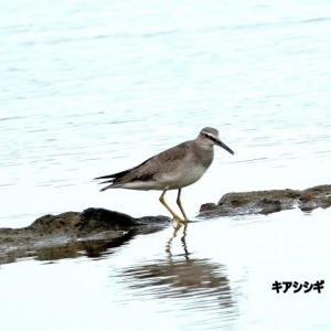 5/29探鳥記録写真-2(若松北海岸:千畳敷の鳥たち:キアシシギづくし)