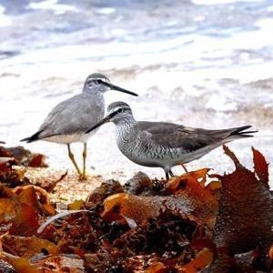5/30探鳥記録写真-2(若松北海岸:千畳敷の鳥たち:キアシシギづくし)
