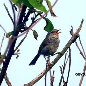 5/30探鳥記録写真(はまゆう公園の鳥たち:ウグイス、ホオジロ、カワラヒワ)