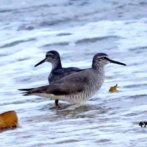 5/31探鳥記録写真(若松北海岸:千畳敷の鳥たち:キアシシギ&アサギマダラ)