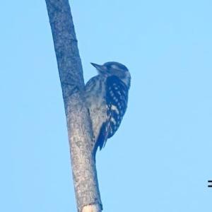 5/31探鳥記録写真-3(はまゆう公園の鳥たち:コゲラ、ホオジロ、カワラヒワ)