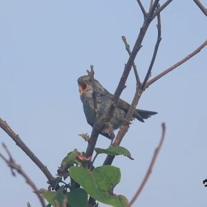 6/01探鳥記録写真-2(はまゆう公園の鳥たち:ウグイス、ホオジロ、カワラヒワ)