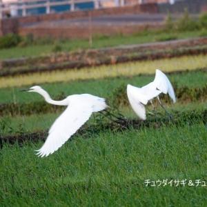 6/01探鳥記録写真-3(某田んぼの鳥たち:チュウダイサギ、チュウサギ)