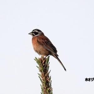 6/03探鳥記録写真-2(はまゆう公園の鳥たち:ミサゴ、ホオジロ、カワラヒワ)
