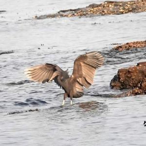 6/03探鳥記録写真(狩尾岬の鳥たち :クロサギづくし)