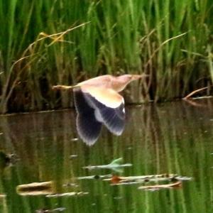 6/03探鳥記録写真-3(某池の鳥たち:ヨシゴイ、バン、オオヨシキリ)