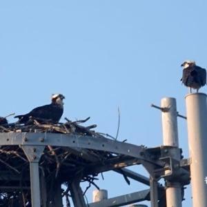 6/04探鳥記録写真-2(某鉄塔上のミサゴ)
