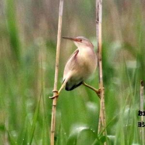 6/04探鳥記録写真(某池の鳥たち:ヨシゴイづくし)