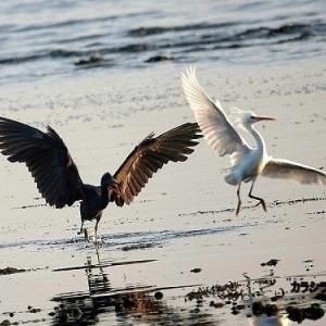 6/04探鳥記録写真-2(5月下旬に出会った鳥たち:カラシラサギ、ヨシゴイ、タマシギ、キアシシギほか)