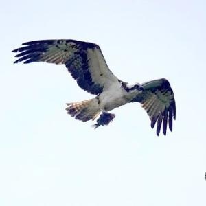 6/05探鳥記録写真-3(若松北海岸:千畳敷の鳥たち:ミサゴ、ウミウ)