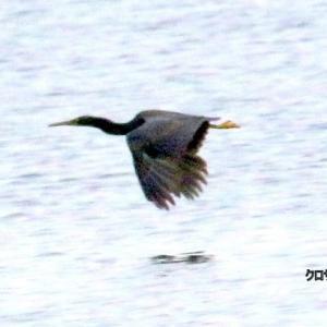 6/05探鳥記録写真-2(狩尾岬の鳥たち :クロサギ、ミサゴ、トビ)