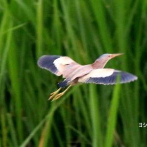 6/05探鳥記録写真(某池の鳥たち:ヨシゴイづくし)
